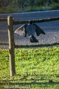 Cornacchia grigia (105) Corvus cornix con noce