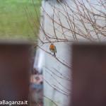 Pettirosso (100) Erithacus rubecola
