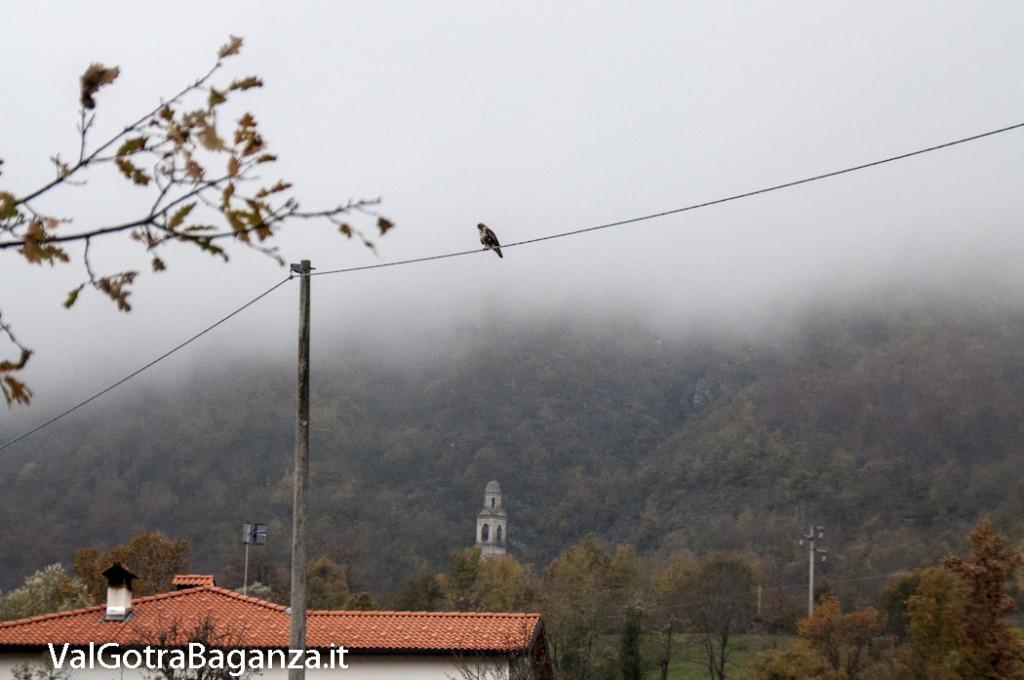 Poiana comune (102) Albareto