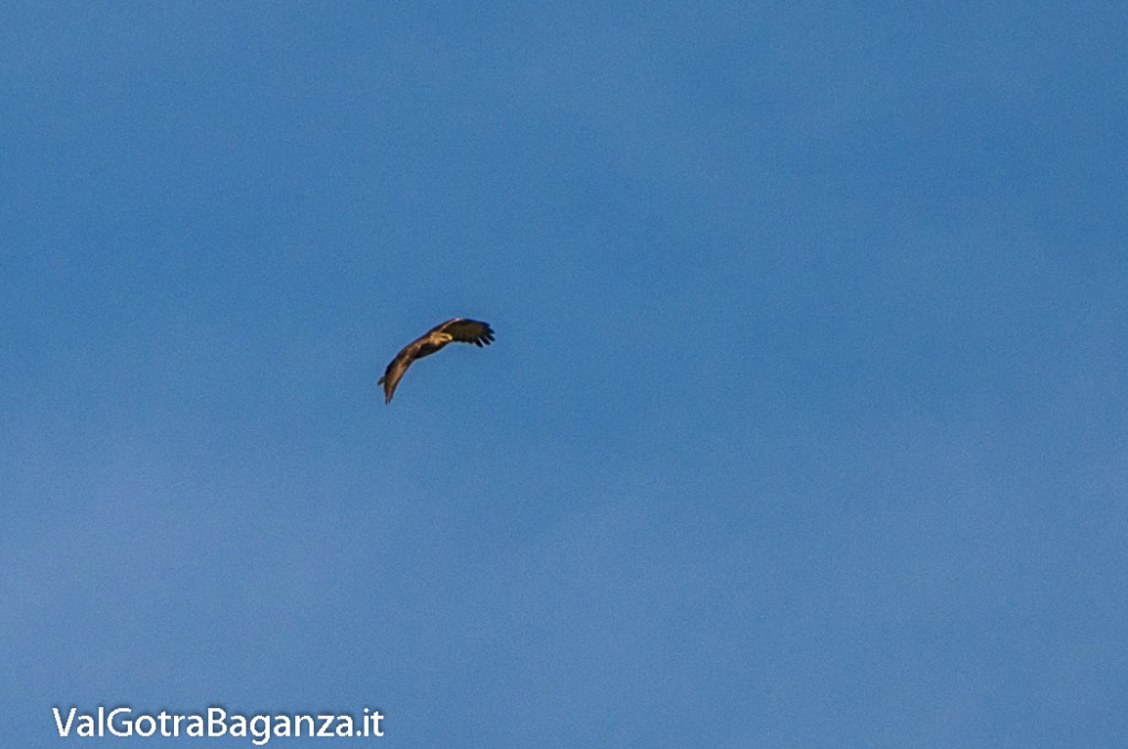 Poiana comune (104) volo