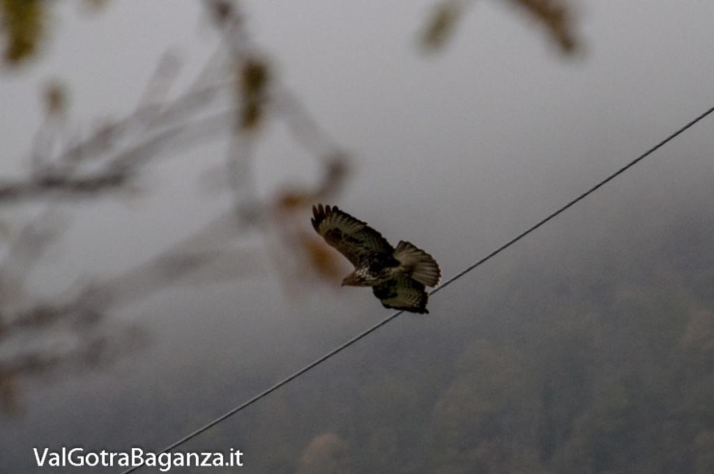 Poiana comune (107) Albareto