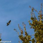 Poiana comune (131) volo