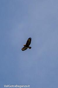 Poiana comune (133) volo