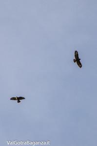 Poiana comune (144) volo