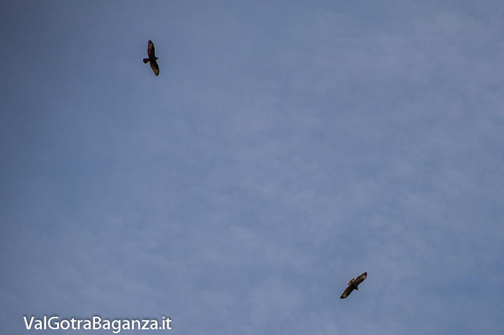 Poiana comune (153) volo