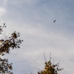 Poiana comune (168) volo