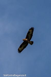 Poiana comune (175) volo