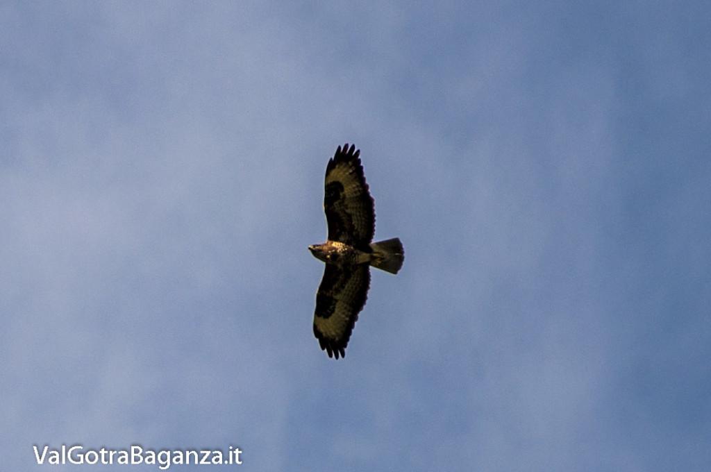 Poiana comune (176) volo