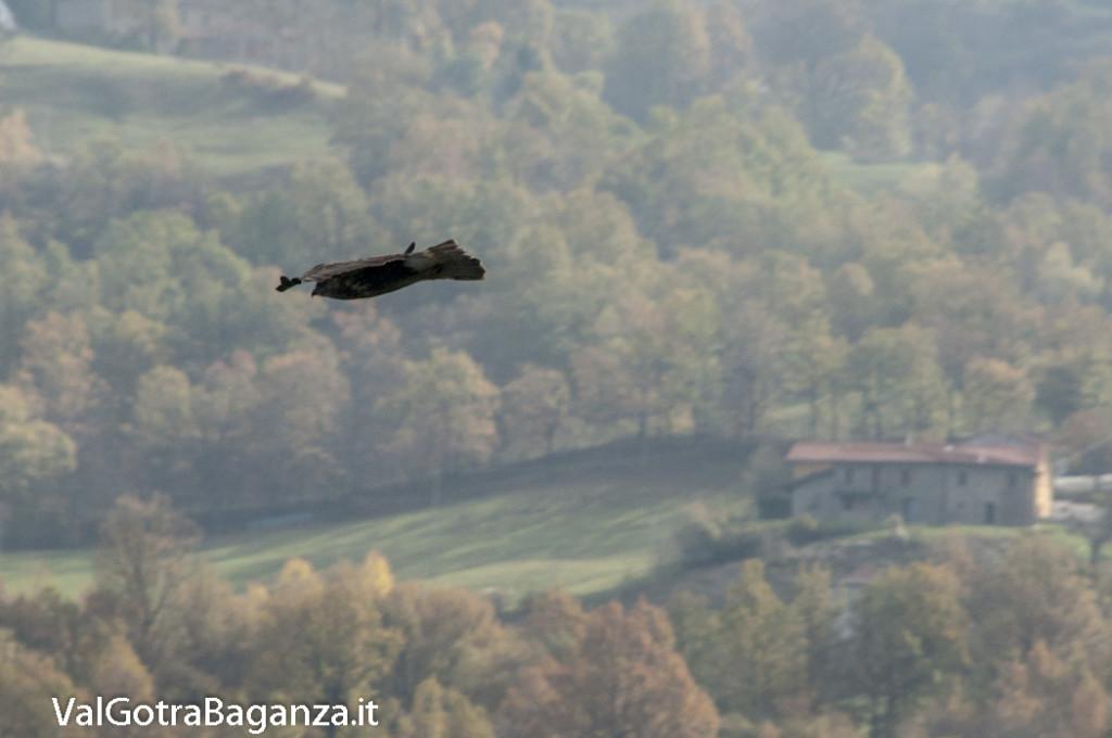 Poiana comune (107) volo