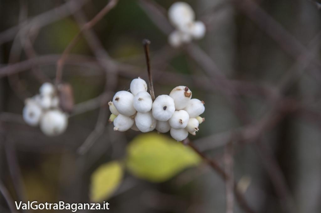 Symphoricarpos albus (100) bacche