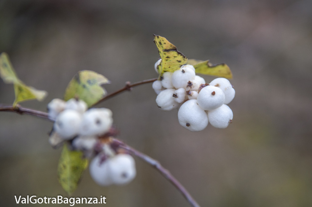 Symphoricarpos albus (103) bacche