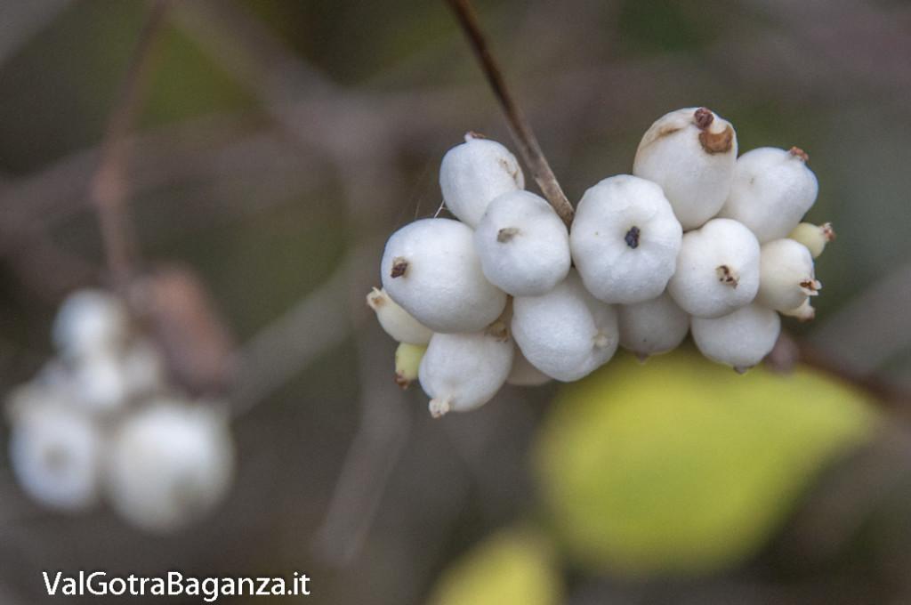 Symphoricarpos albus (105) bacche