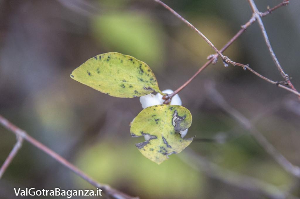 Symphoricarpos albus (106) bacche