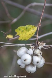 Symphoricarpos albus (108) bacche
