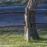 Picchio rosso maggiore e Cinciallegra (100)