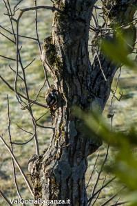 Picchio rosso maggiore (103) Dendrocopos major