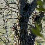 Picchio rosso maggiore (107) Dendrocopos major