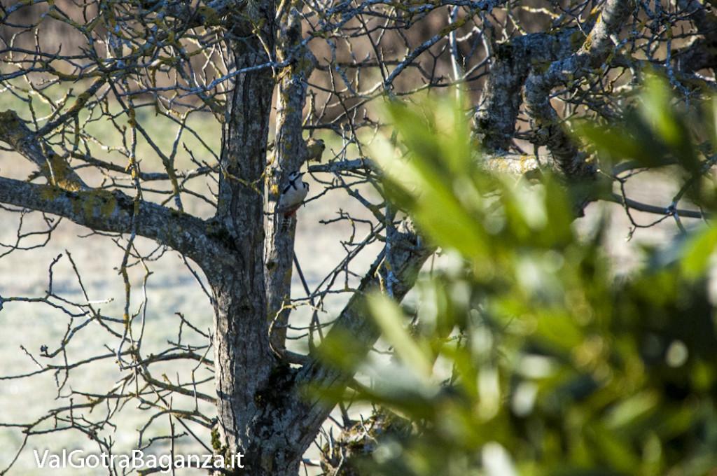 Picchio rosso maggiore (110) Dendrocopos major