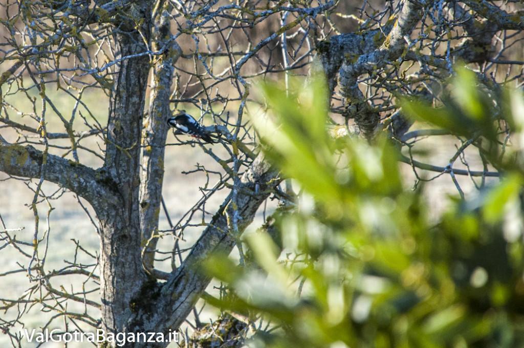 Picchio rosso maggiore (115) Dendrocopos major