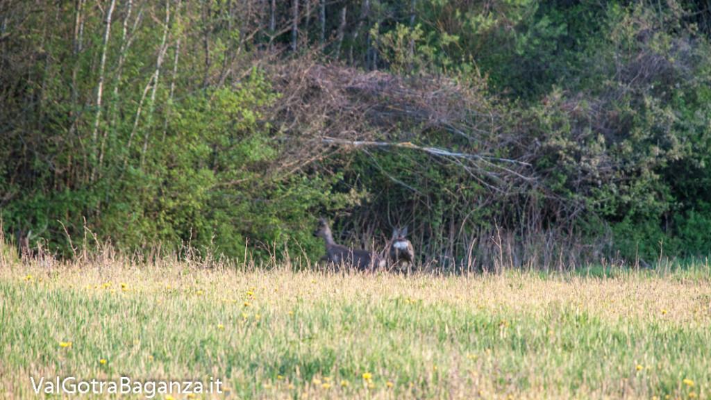 capriolo-108-prato-delle-volpi