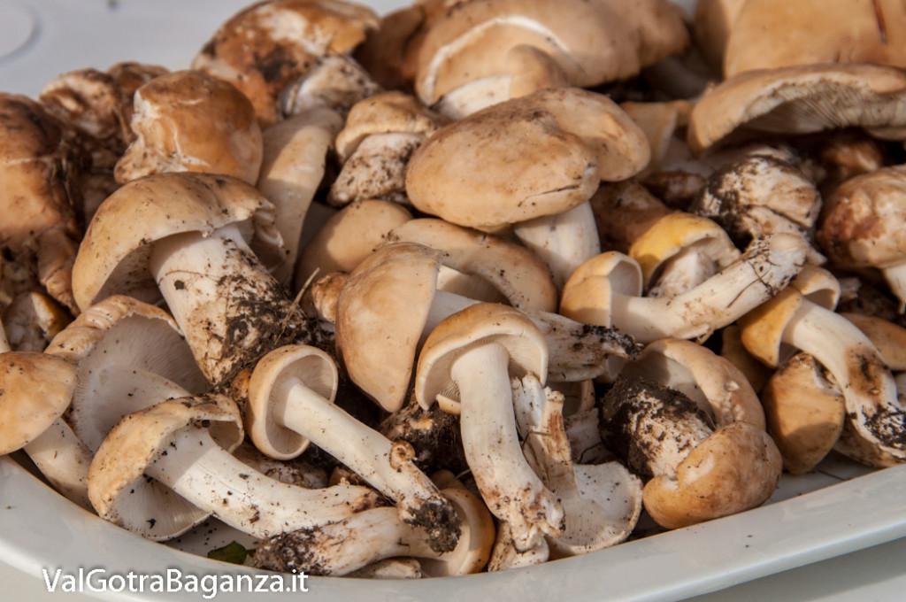 funghi-prugnoli-o-spinaroli-120-calocybe-gambosa