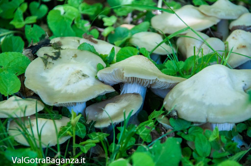 funghi-primaverili-107