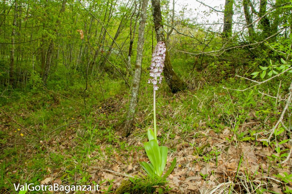 orchide-purpurea-106-orchide-maggiore