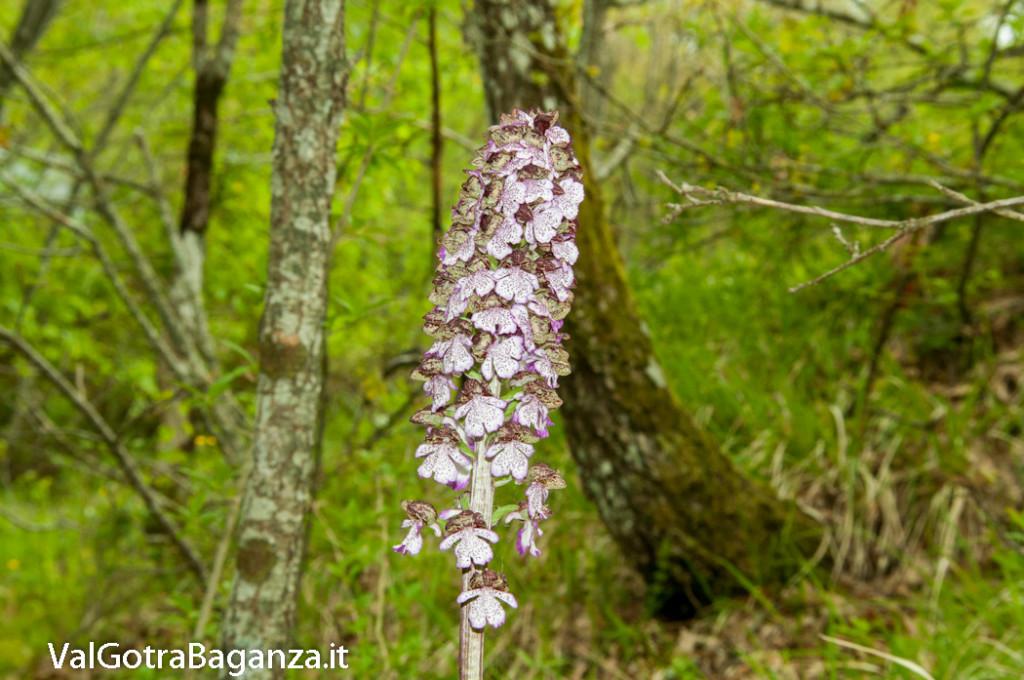 orchide-purpurea-107-orchide-maggiore
