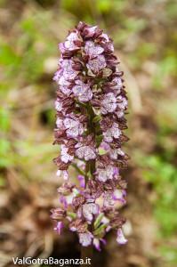 orchide-purpurea-122-orchide-maggiore