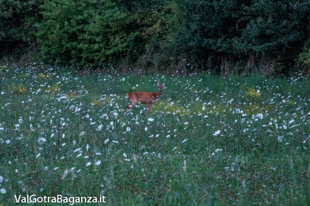 capriolo-100-fiori-di-carota-selvatica