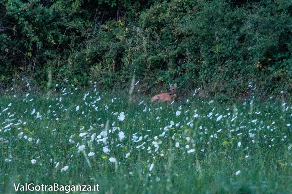capriolo-105-fiori-di-carota-selvatica