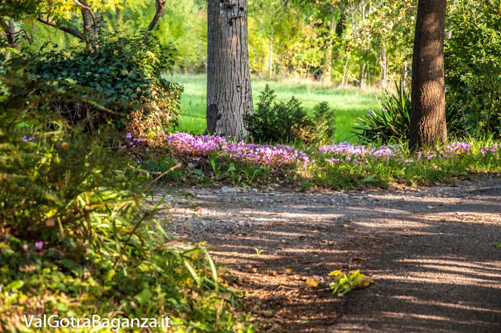 ciclamino-100-fiorito-bedonia