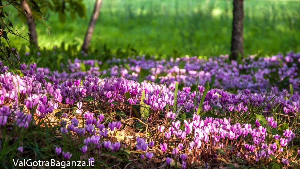 ciclamino-105-fiorito-bedonia
