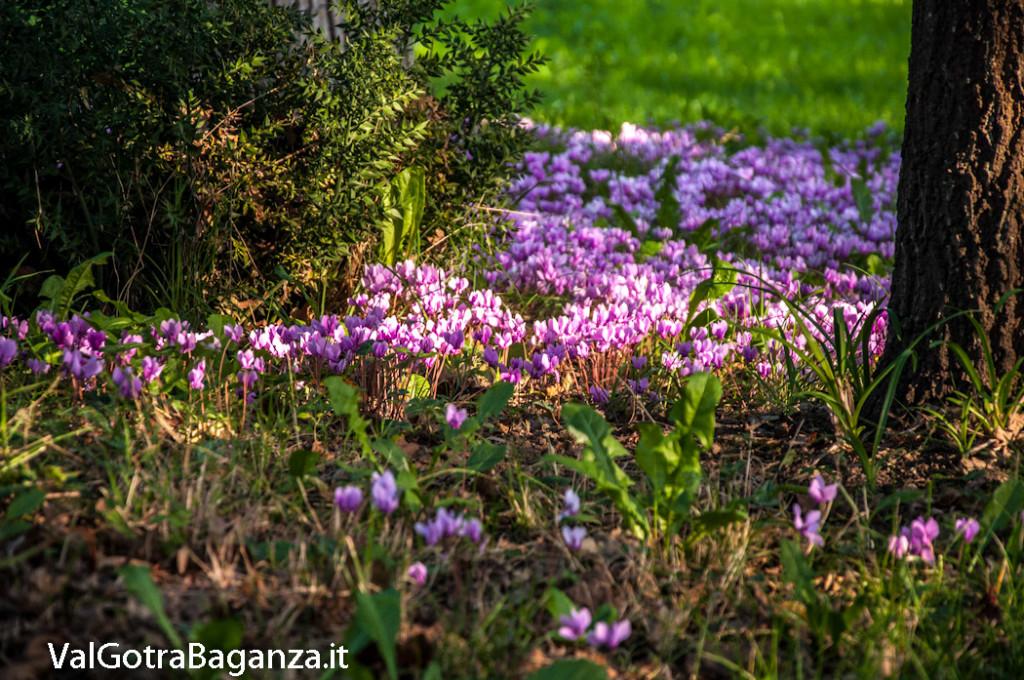 ciclamino-107-fiorito-bedonia