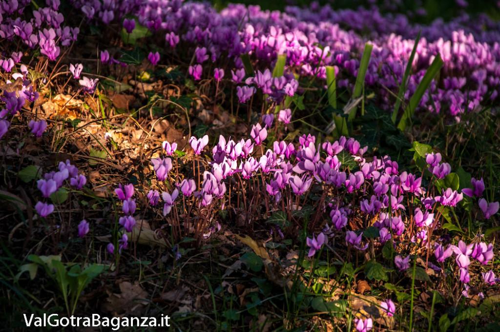 ciclamino-108-fiorito-bedonia