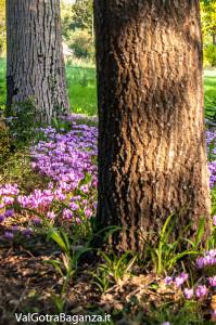 ciclamino-114-fiorito-bedonia