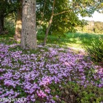 ciclamino-127-fiorito-bedonia