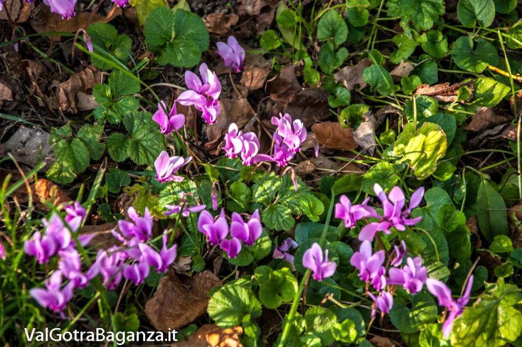 ciclamino-135-fiorito-bedonia