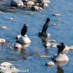 cormorano-comune-110-nel-taro