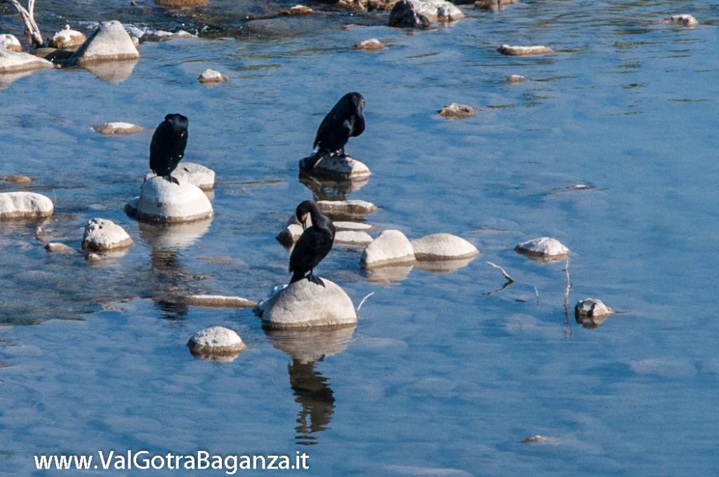 cormorano-comune-112-nel-taro