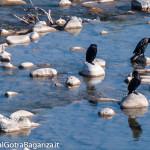 cormorano-comune-115-nel-taro