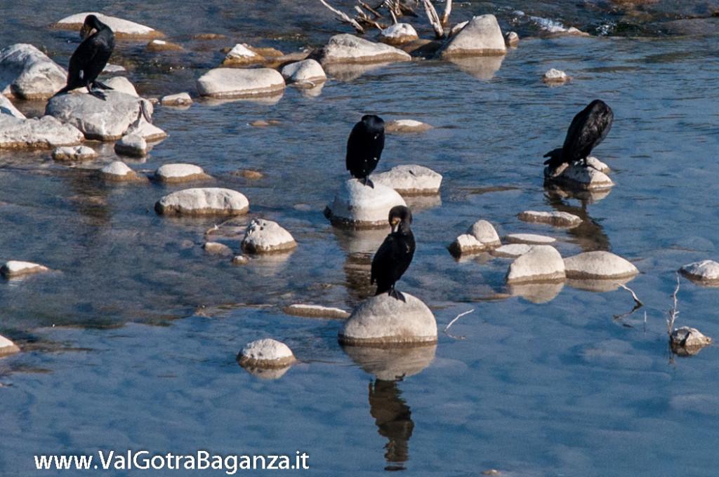cormorano-comune-116-nel-taro