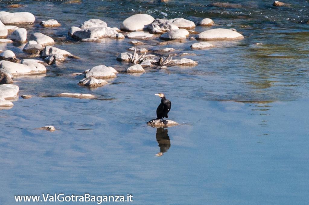 cormorano-comune-118-nel-taro