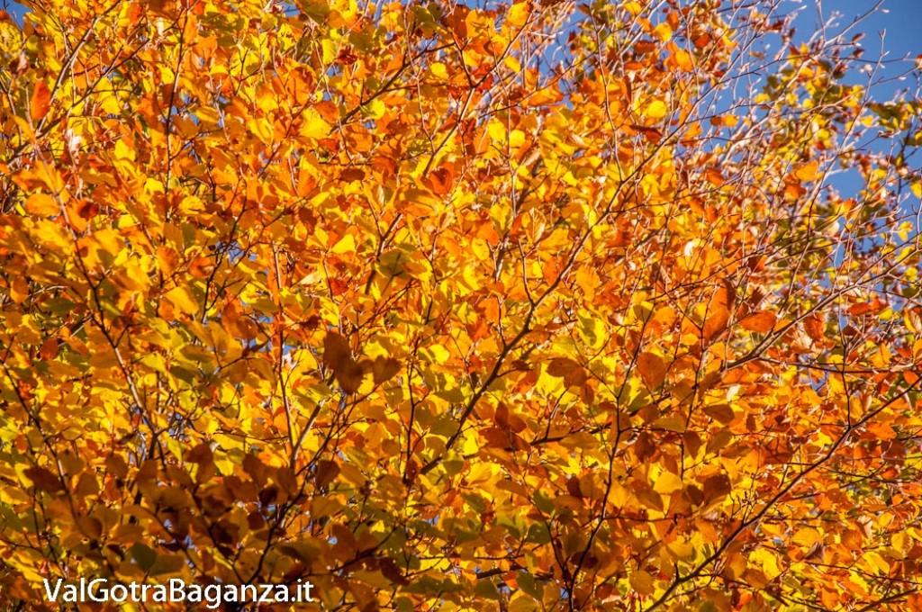 foliage-117-faggeta