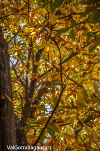 foliage-121-castagneti-val-gotra