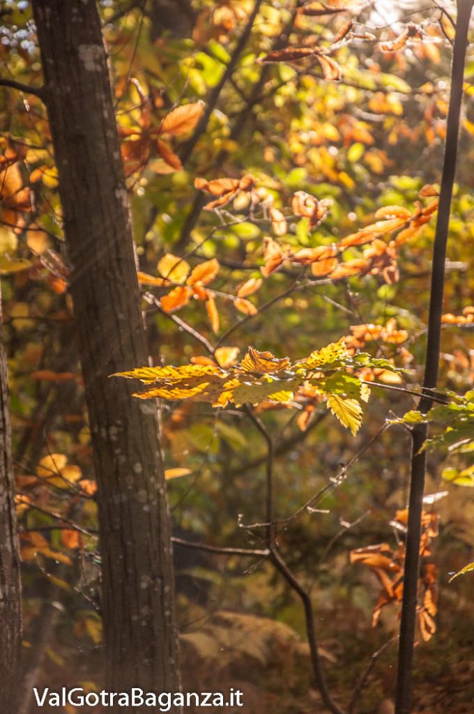 foliage-122-castagneti-val-gotra