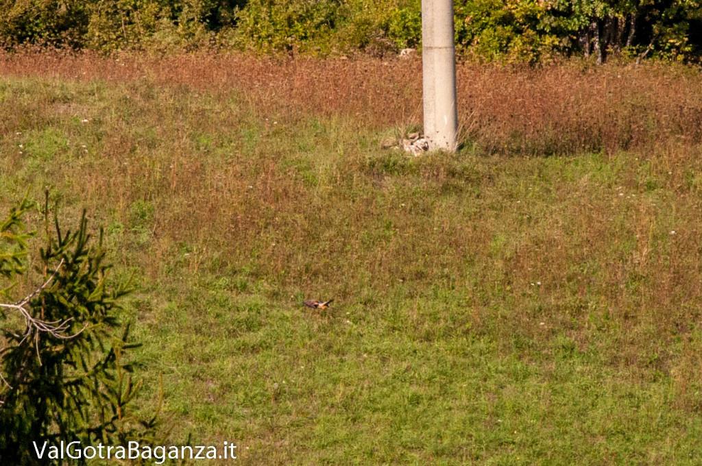 gheppio-comune-108-natura