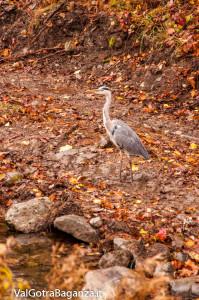airone-cenerino-114-autunno