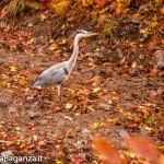 airone-cenerino-117-autunno