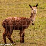 alpaca-119-camelidi-al-pascolo
